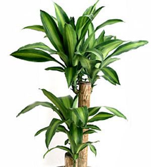 Growing Dracaena Fragrans How To Grow Corn Plants Corn Plant