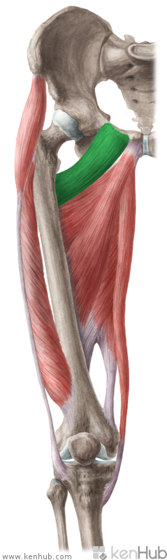 musculus pectineus - بحث Google