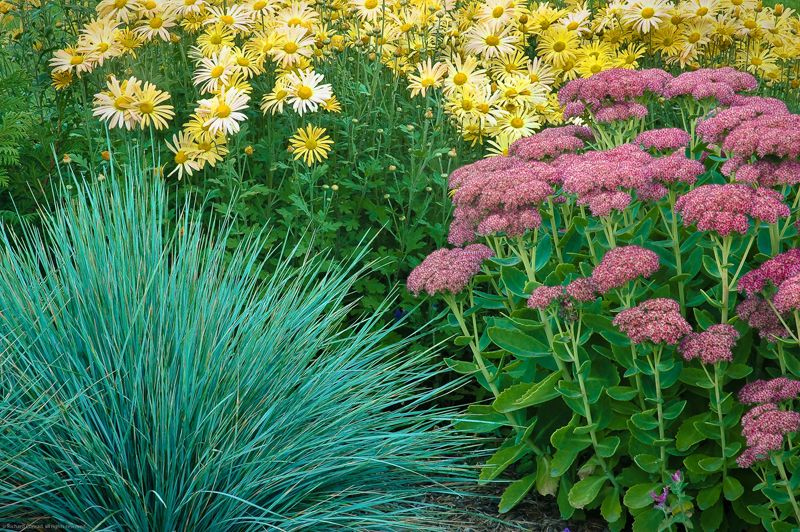 Blue oat grass helictotrichon sempervirens garden for Ornamental grass with blue flowers