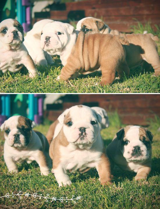Baby English Bulldog Juno English Bulldog Puppies Bulldog