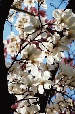 Ayers Pear Tree Information Flowering Cherry Tree Tree Pruning