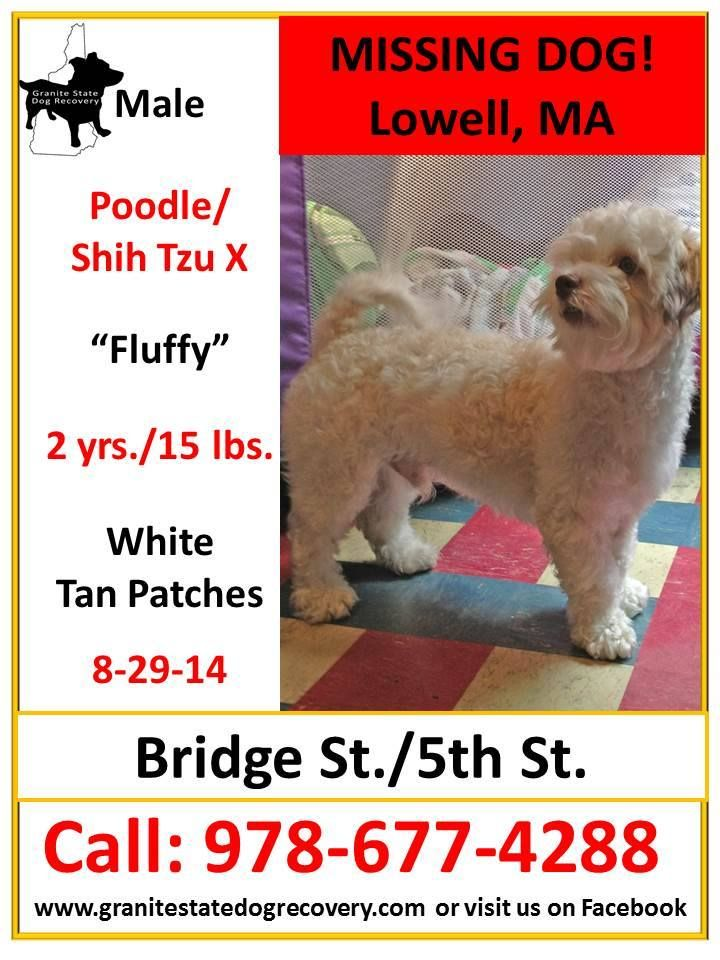 "Missing Male Poodle/Shih Tzu X Lowell, MA 82914 ""Fluffy"