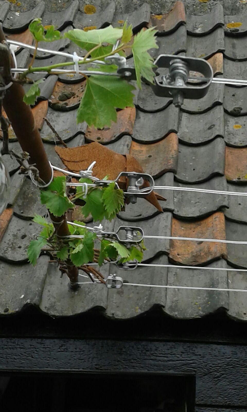 Druiven geleiden over geplastificeerde staalkabel. De draadspanners maken het mogelijk om de kabel steeds op spanning te houden. Arjen maakte gebruik van vuurverzinkte draadspanners voor het geleiden van zijn druiven. Het voordeel van deze spanners is dat als de kabel na verloop van tijd minder strak gaat staan, deze eenvoudig met een sleuteltje op spanning gebracht kan worden. Wij wensen Arjen een grote opbrengst!  Hier de link naar de draadspanners…