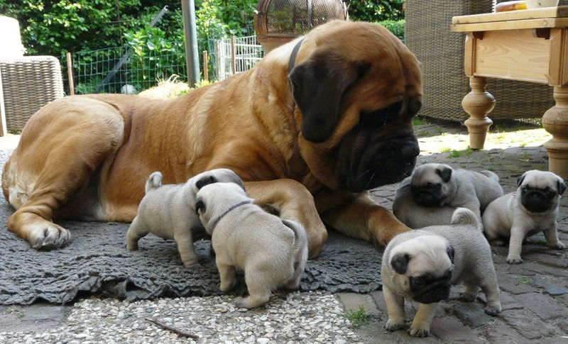 Pugs And Mastiff Baby Pugs Cute Animals Pugs