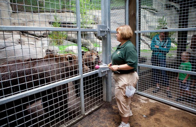 Bear Training At John Ball Zoo Fence Consultants Constructed The