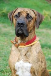 Adopt Albert On Great Dane Dogs Great Dane Mastiff Great Dane