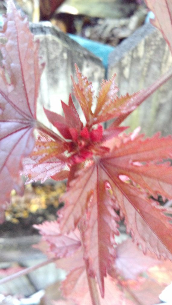 Red Leaf Edible Cranberry Hibiscus Live Plant Organic Wildcrafting