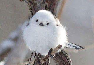 عالم الحمام والعصافير الزينه يوليو 2016 シマエナガ ペットの鳥 可愛すぎる動物