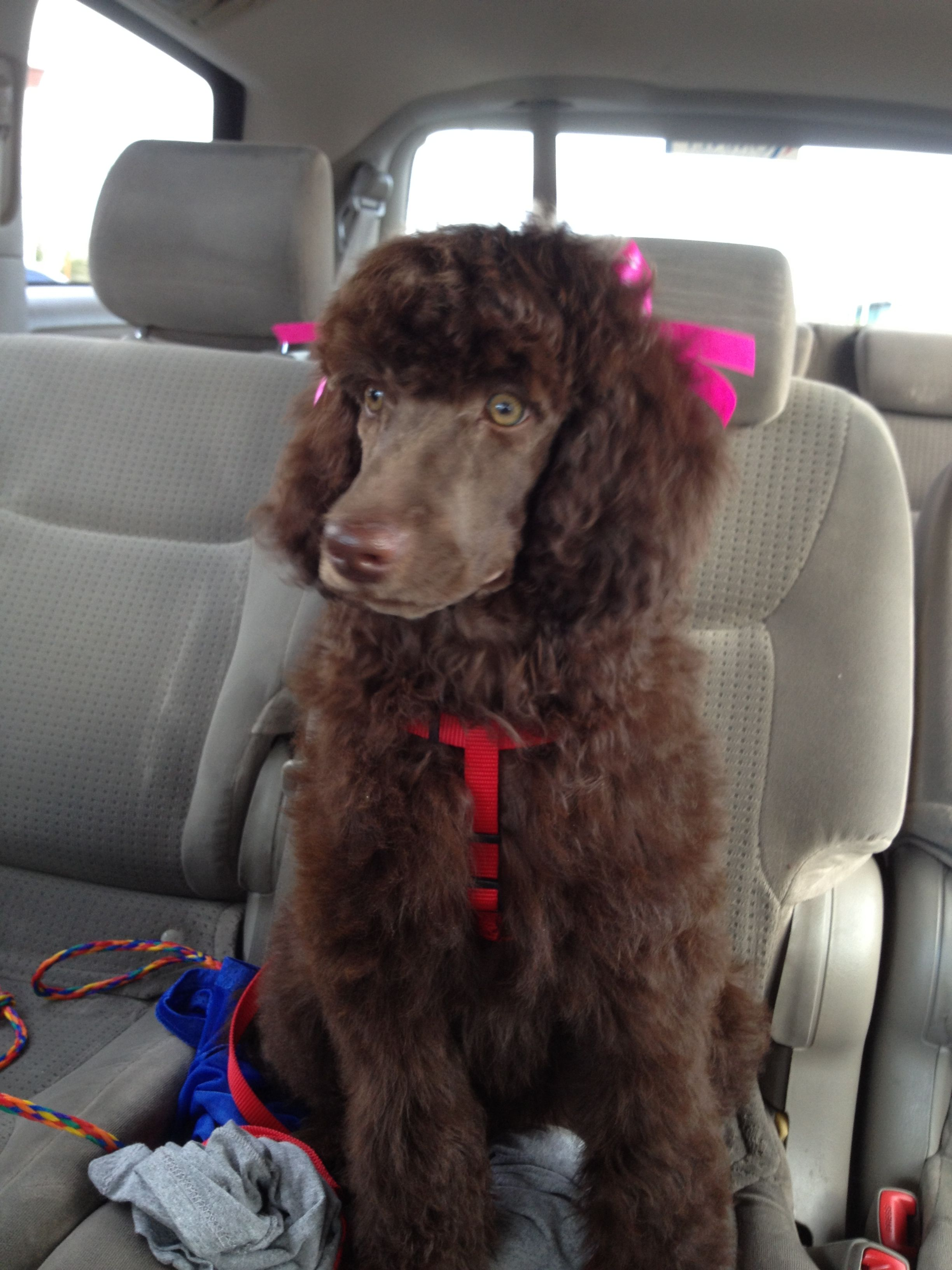 Four month old Newfypoo with shaved face  The guys say we ruined her