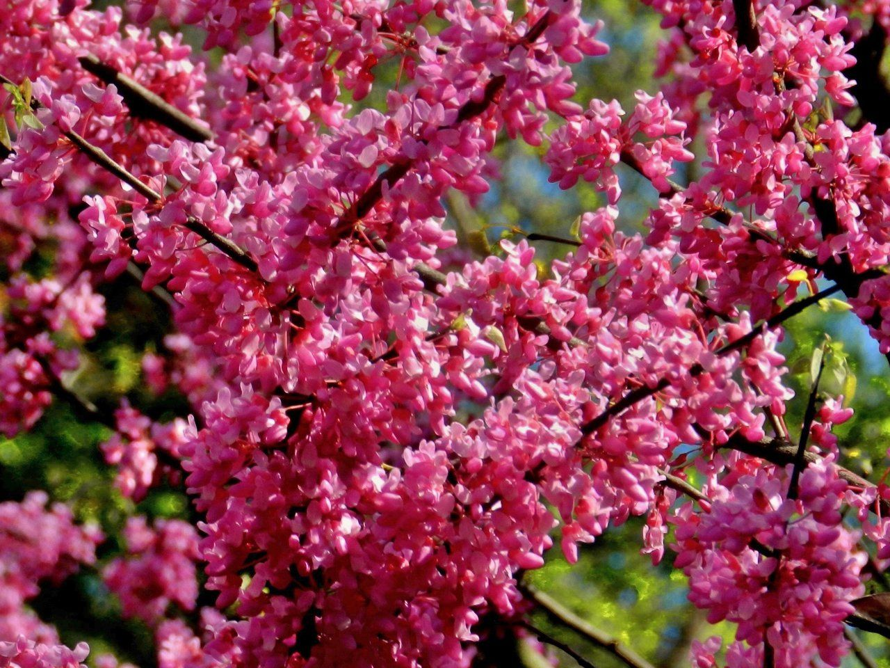 Pin By Jan Wade On Scenic Maryland Pinterest Eastern Redbud And