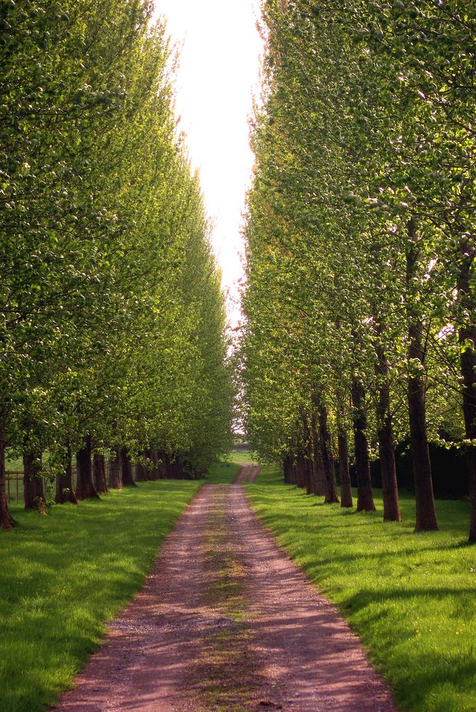 Poplar Lined Driveway Driveway Landscaping Tree Lined Driveway Landscape Design