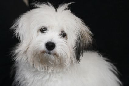 Coton De Tulear With Brown Point Ears Coton De Tulear Bored