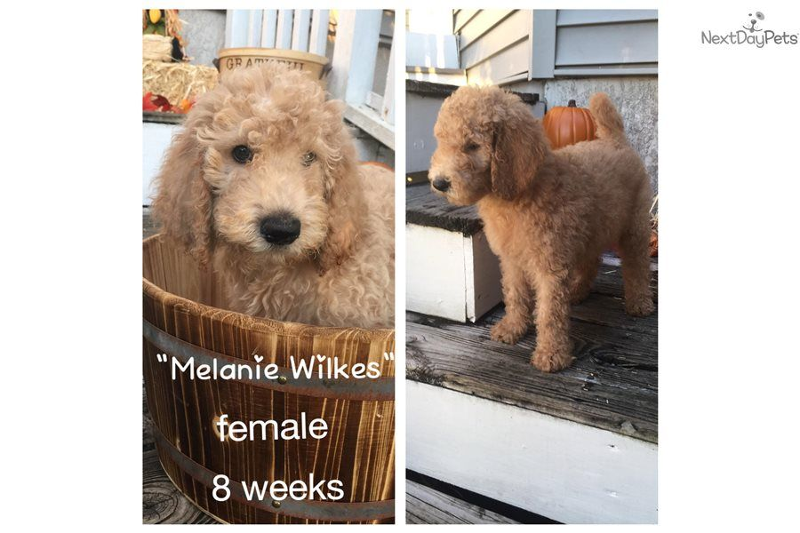 Melanie Wilkes Labradoodle Puppy For Sale Near Tampa Bay Area Florida E620dcff Dca1 Labradoodle Puppies For Sale Labradoodle Puppy