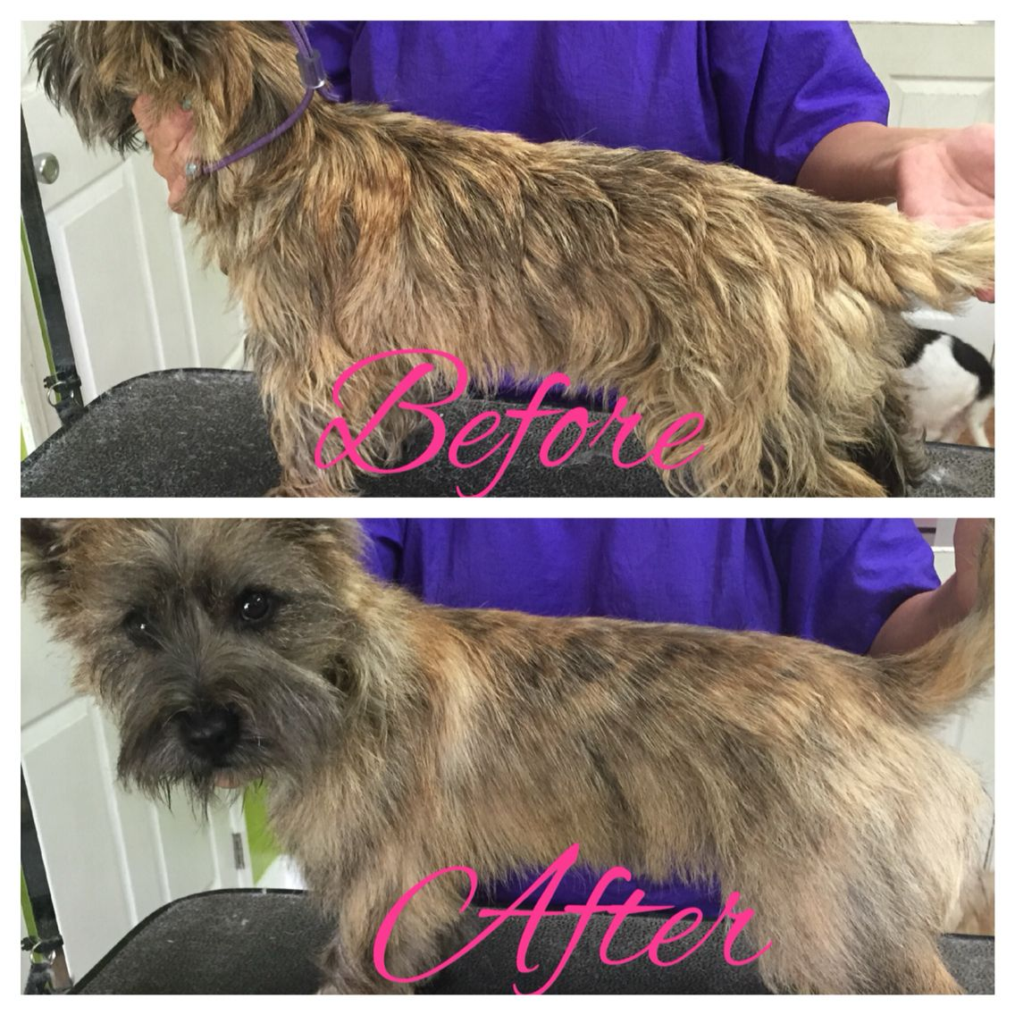 Hand Stripped Cairn Terrier Cairn Terrier Puppies Akc Dog