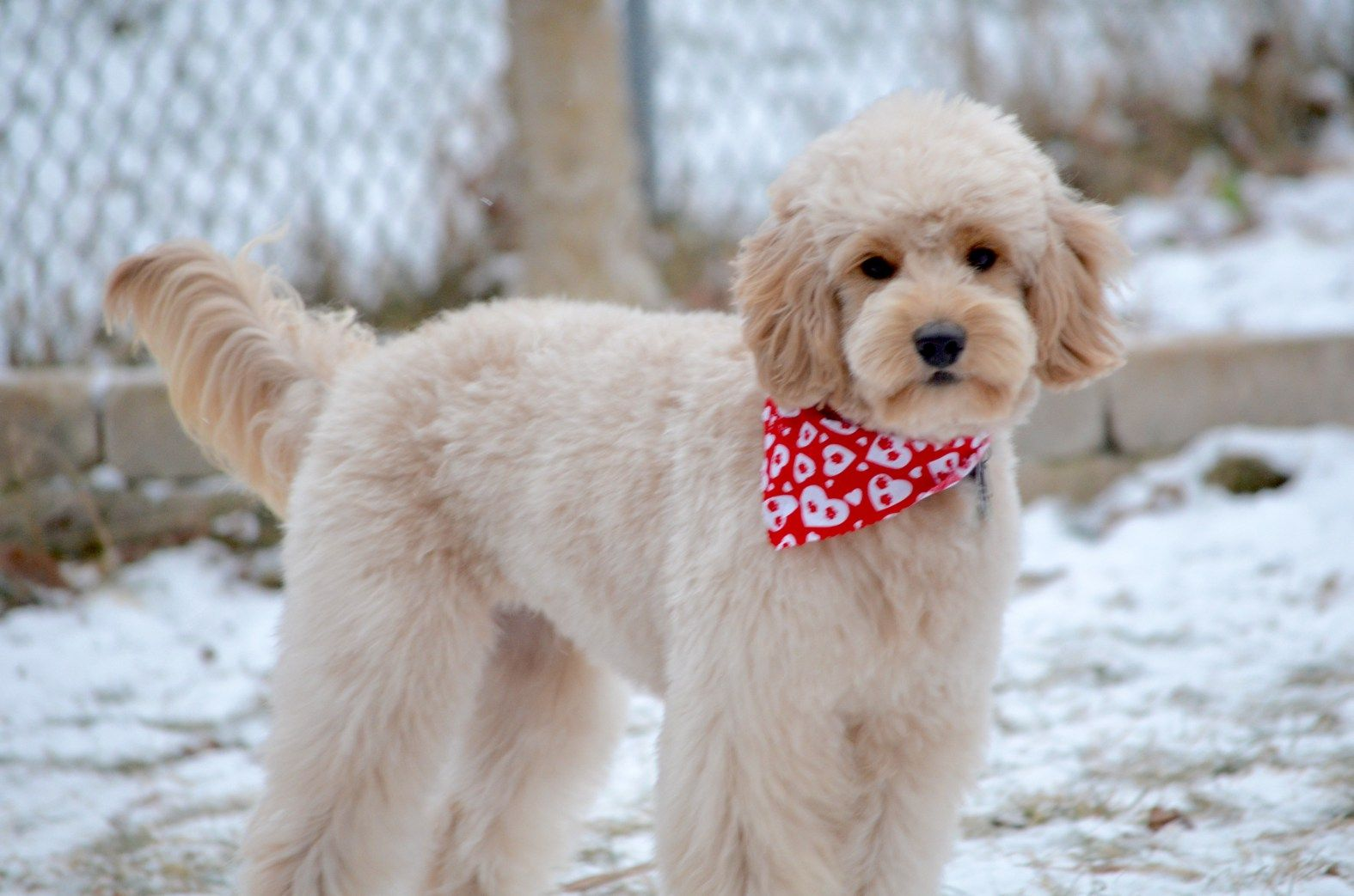 Goldendoodle Haircut Pictures With Images Goldendoodle Grooming