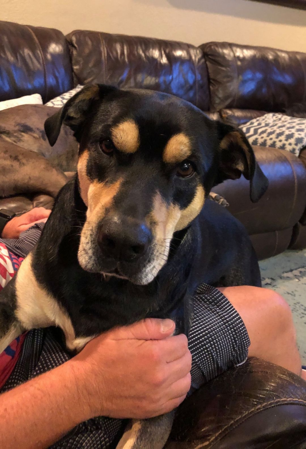 Adopt Buddy Rottie Mix On Rottweiler Mix Big Dogs Rescue Dogs