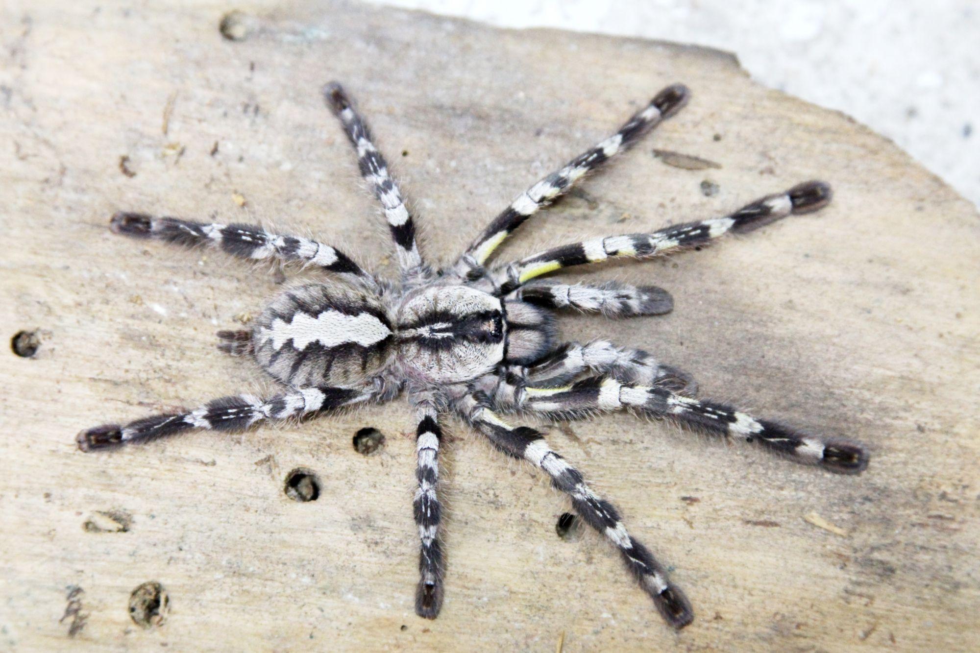 poecilotheriaregalisfemalejpg 20002151333 tarantula
