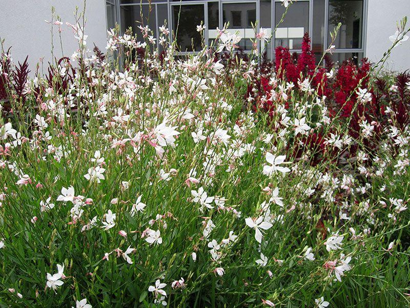 Etwas Neues genug Prachtkerze Pflanze Gaura lindheimeri Staude Präriekerze Pflege #GN_23