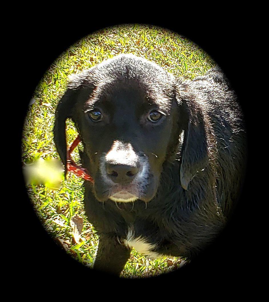 Adopt Miney On Labrador Retriever Puppies Labrador Retriever