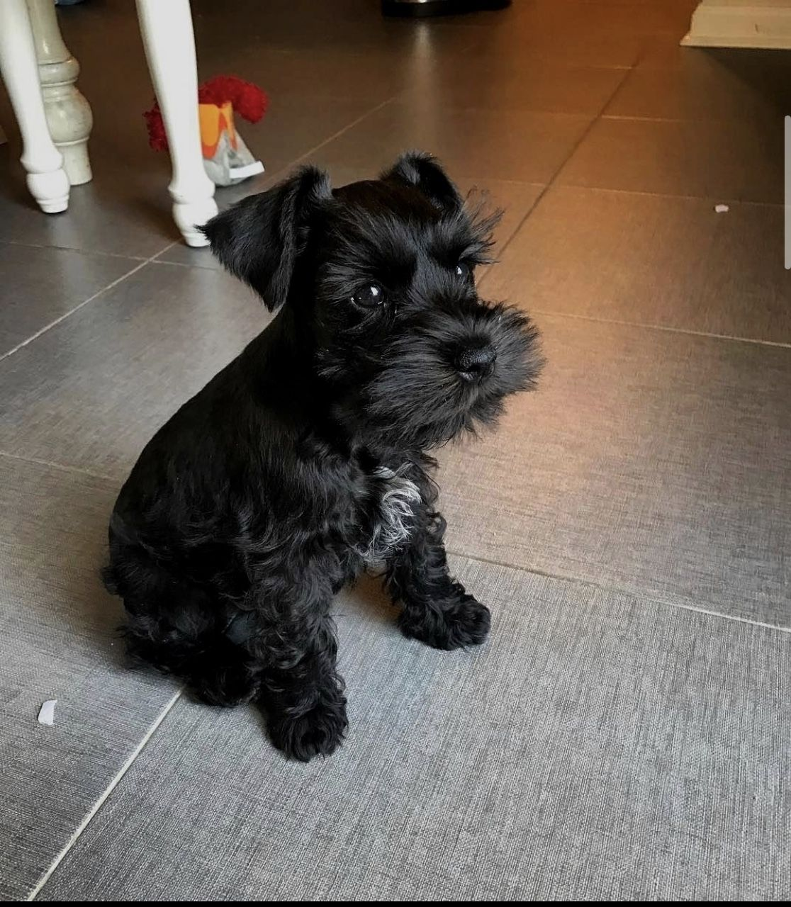 Black Standard Schnauzer Puppy For Sale