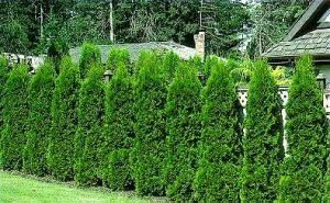 Augalai, tinkantys formuoti gyvatvores. Gyvatvorių sodinimas ir genėjimas | Viskas apie sodą ir namus | Sodininkyste.lt