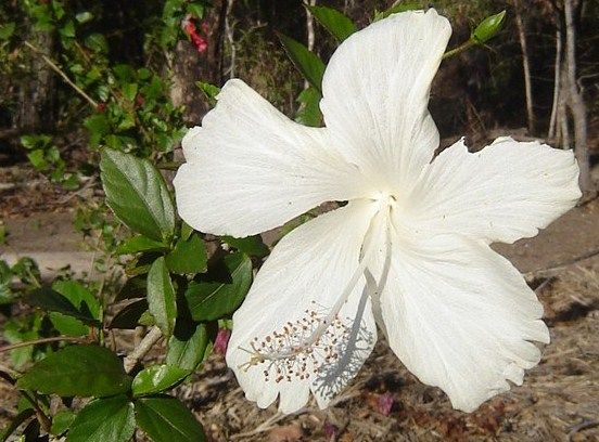 Hibiscus Fantasia White All Online Plants For Sale Lush Plants