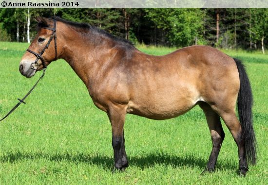 32-year-old Gotland Russ mare M.N. Erica
