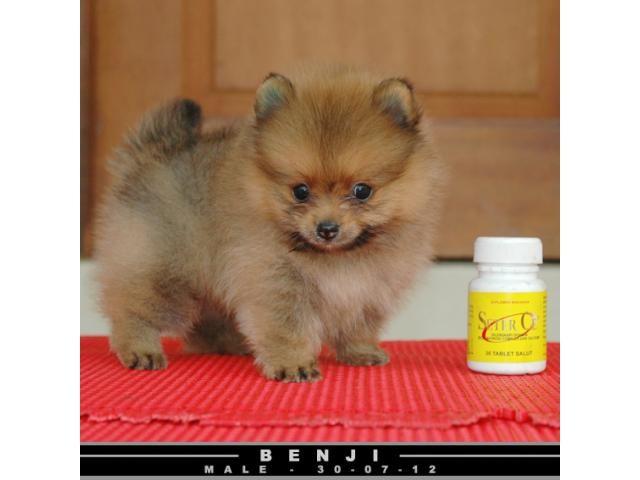 Miniature Teddy Bear Pomeranian Jual Mini Super Mini Pom Teddy