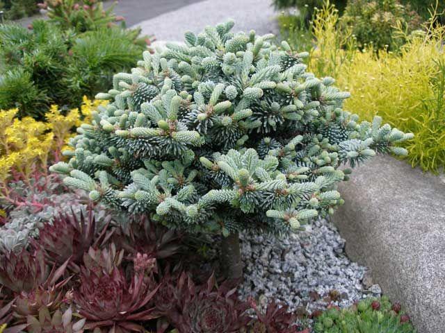 Sortiment Edwin Smits Conifers Abies Procera Blaue Hexe Rastliny