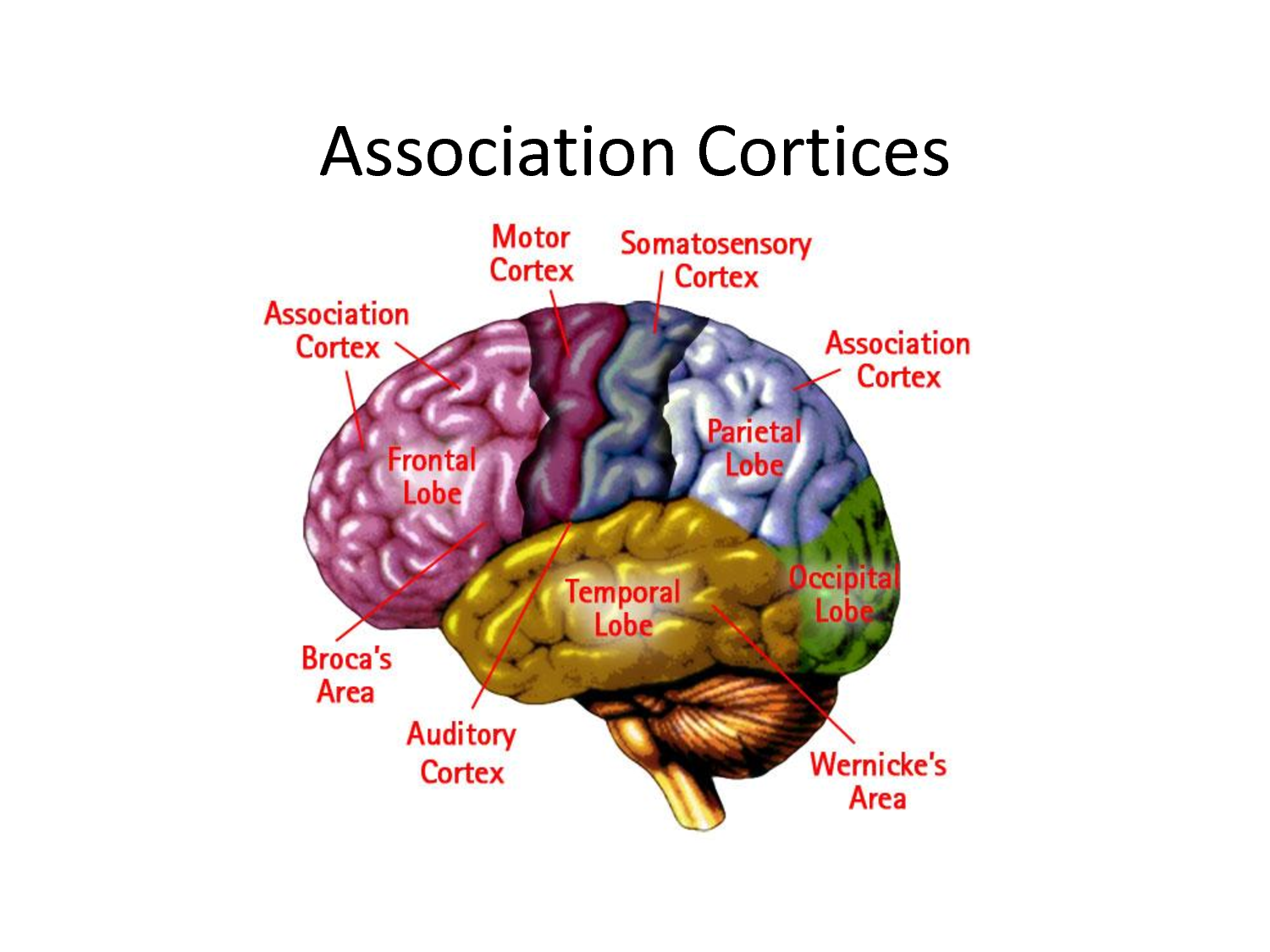 Cortices Of The Brain Primary Motor Cortex