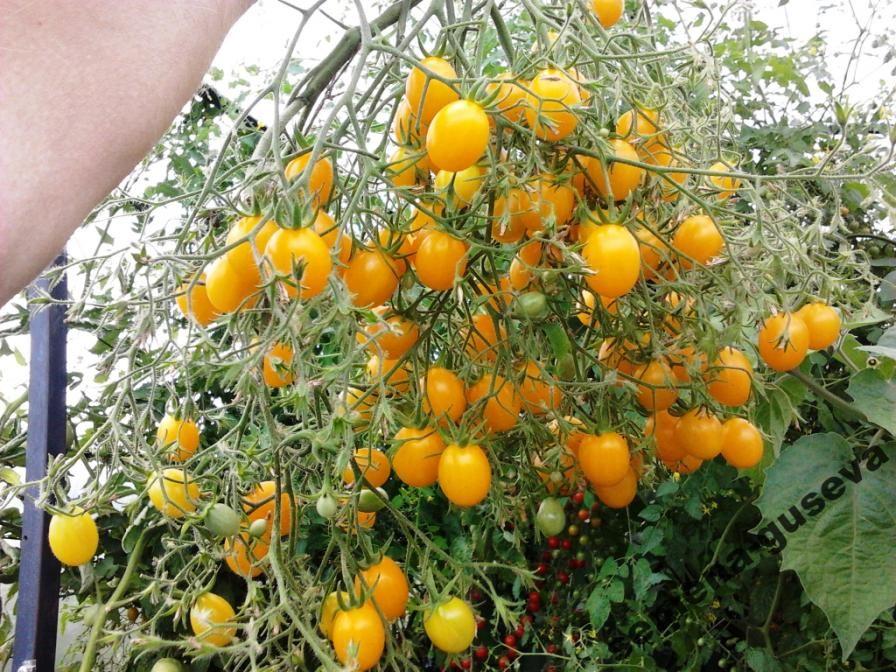 слышали клопах ильди томат отзывы фото снимке модель
