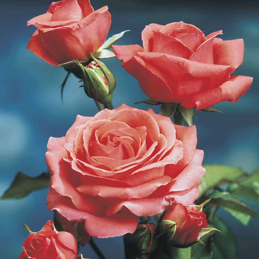 America Climbing Rose Climbing Roses Blooming Rose Growing Roses