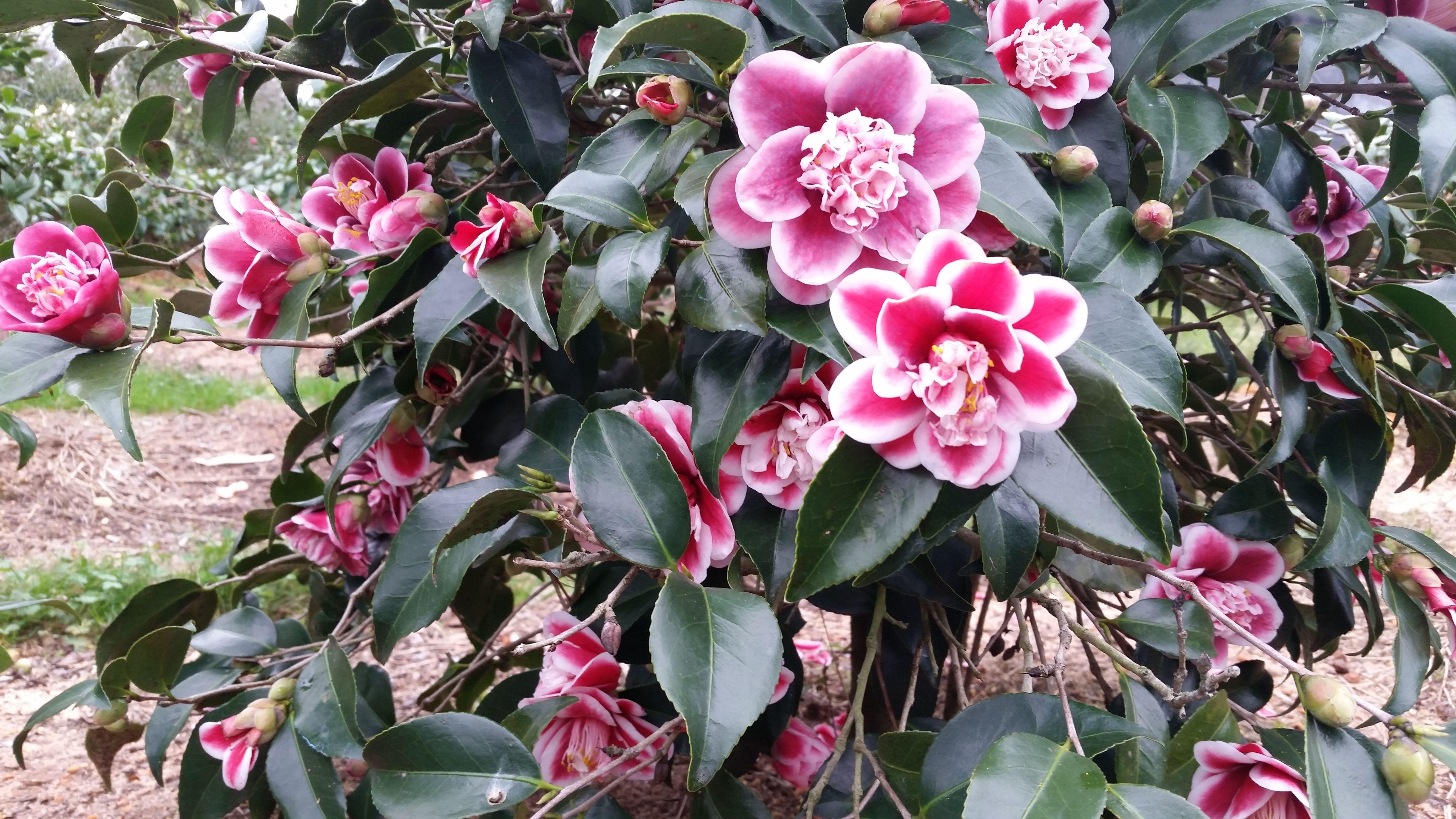 Tama Anemone Camellia Flowers Anemone