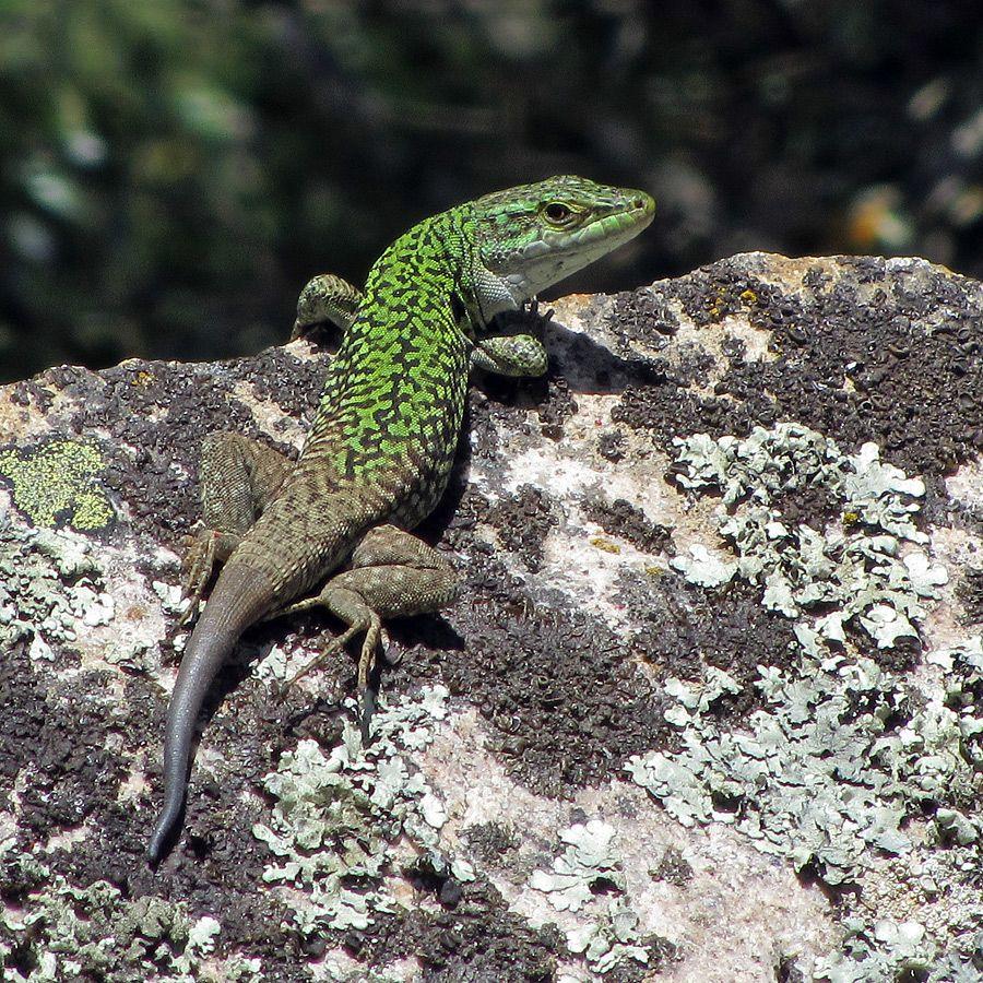 Eidechse auf Sardinien mit Kompaktknipse | bedrohte tiere ...