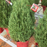This time of the year you cannot walk into the garden center of Lowe's or Home Depot without seeing rosemary topiaries. While the most popular are the cone shaped ones, there are a variety of other shapes at some of the stores. Regardless of the shape, the plants are hard...