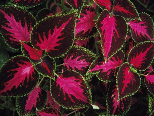 Coleus plants grow across much of South America_Photograph by Tim Laman_National Geographic