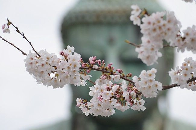 Cherry Blossom With The Great Buddha In The Background Kamakura Japan Buddha Japan Cherryblossom Cherry Blossom Blossom Kamakura