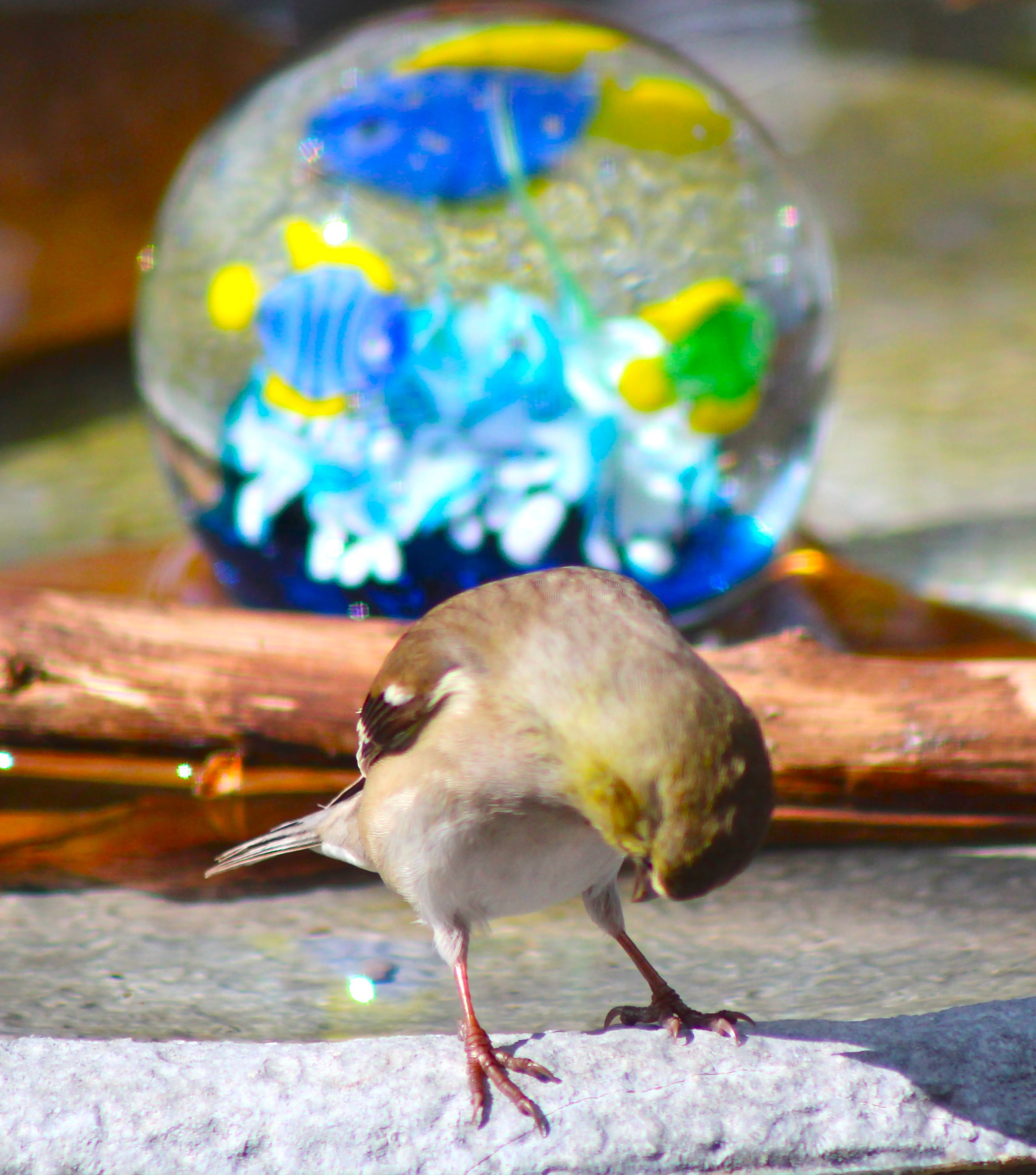 Photo of Back yard finch looking for body parts? –  Back yard finch looking for body part…