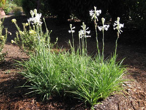 Tuberose Plant Google Search Plants French Garden Tuberose
