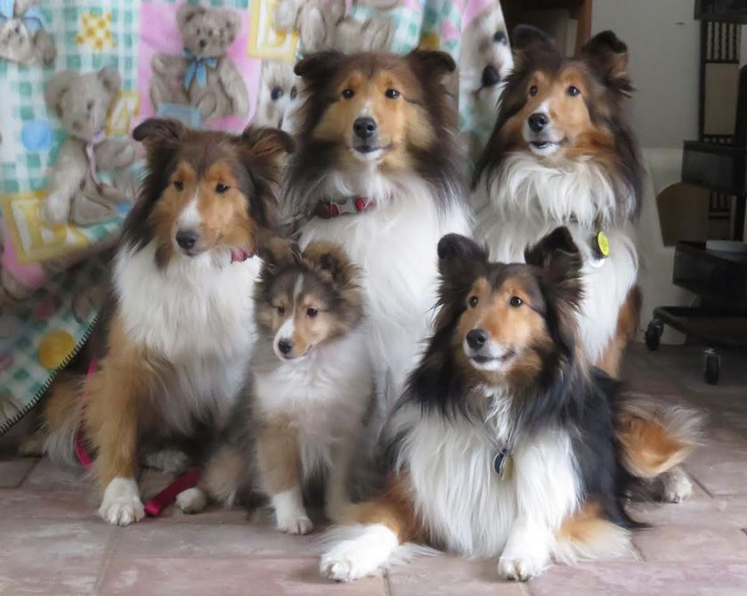 5 generations of adorable Shelties! Back row: Blaire, Maggie, Yankee Front row: Faith, Myah  Thanks to Deb and L&M Shelties. :)