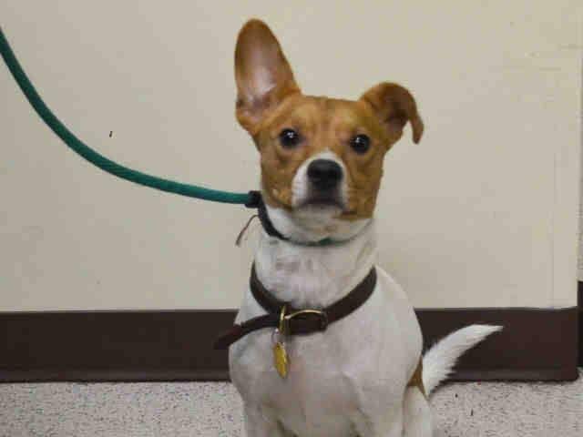 SPOTTY A1027517 Help us Save NYC AC&C Shelter Dogs