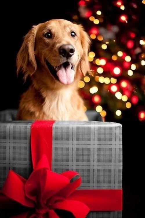 Christmas Dog With Wrapped Present And Christmas Lights In