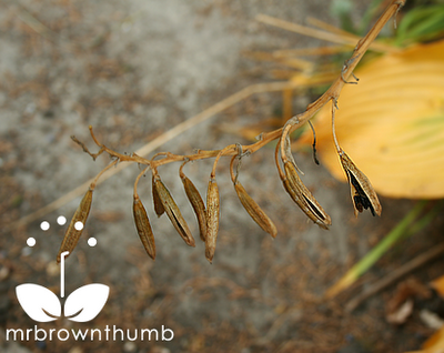 how to grow hosta from seed pods