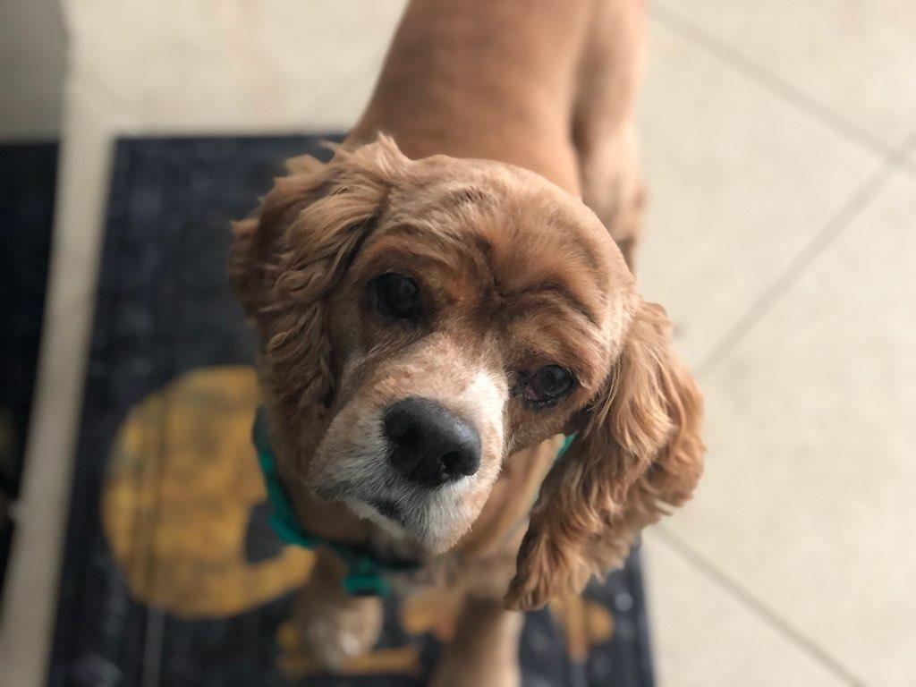 Orlando Fl Cocker Spaniel Meet Prince A Dog For Adoption Dog Adoption Cocker Spaniel Pitbull Terrier