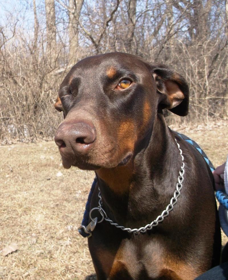 Adopt Zephyr On Dog Control Doberman Pinscher Doberman Love