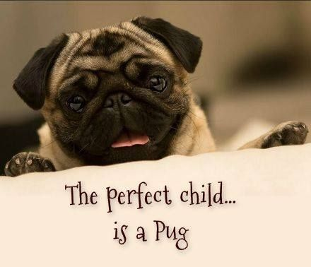 The Perfect Child Is A Pug Pugs Pugs Funny Cute Pugs