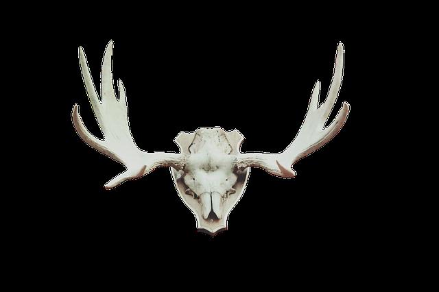 Antler Moose Antler Deer Antler Photo