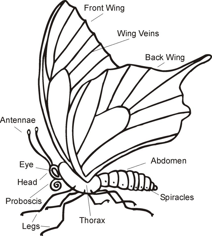 Science Worksheet  Parts of a butterfly   Caterpillar to