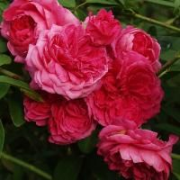 A Few Late Summer Rose Chores Brings On The Fall Show | Fine Gardening