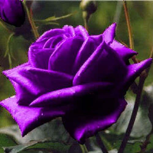 5 Purple Rose Rosa Bush Shrub Perennial Flower Seeds Comb S H Etsy Purple Roses Flowers Perennials Beautiful Rose Flowers